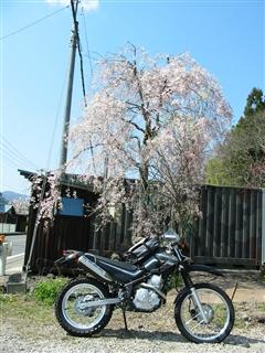 セロー250と桜