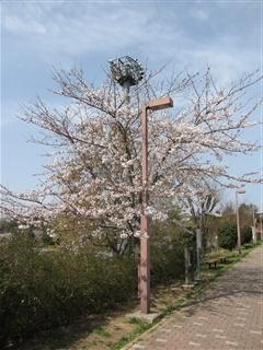 関越道高坂SAの桜