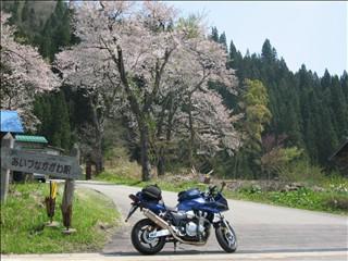 桜とCB1300SB